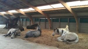 paarden op het vlas