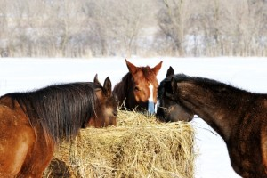 -trio-eating-hay650